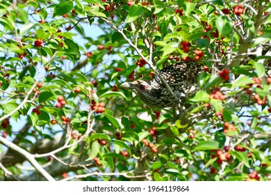 Female Asian koel bird enjoy eating fruit of banyan tree (food of birds and various animals in tropical rainforest) in nature in Thailand