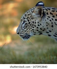 A female Asian leopard profile