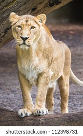 Female asian lioness - Panthera leo persica - verical image