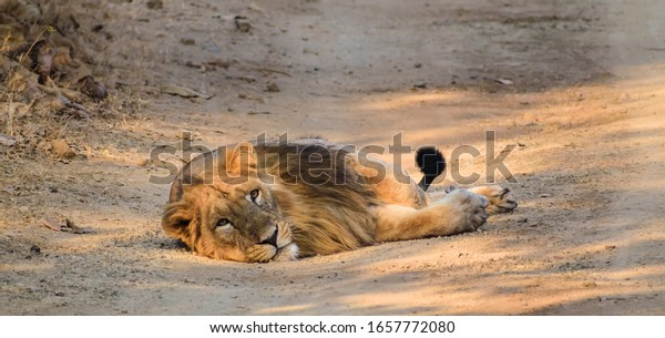 A female Asiatic lion lies on the floor and stares into the distance in the forests of the Gir National Park in Gujarat, India.