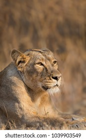 A female Asiatic Lion (Panthera leo persica) close up, against a blurred natural background, Gir forest, Gujarat, India