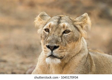 A female Asiatic Lion (Panthera leo persica) close up of the head, against a blurred natural background, Gir forest, Gujarat, India