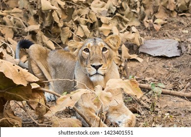 A female Asiatic Lion (Panthera leo persica) laid down in dry forest looking at the camera, Gujarat, India