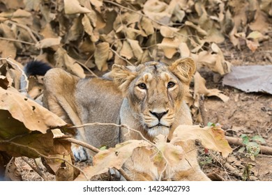 A female Asiatic Lion (Panthera leo persica) resting in dry forest looking at the camera, Gujarat, India
