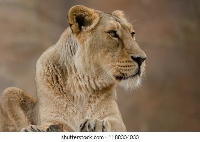 A female asiatic lioness at rest