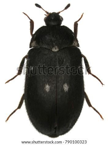Female of Attagenus pellio the fur beetle or carpet beetle from the family Dermestidae a skin