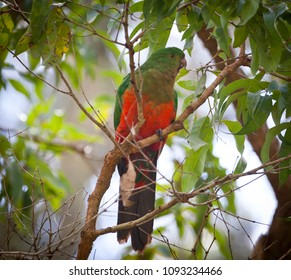 Female Australian King Parrot. Green Red bird sits in a tree in queensland Australia.
