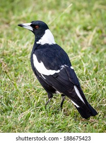 Female Australian Magpie bird (Cracticus tibicen) standing on green and brown grass in late summer
