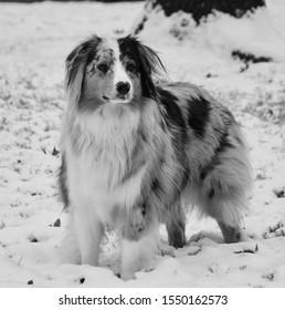 female australian shepherd standing in snow
