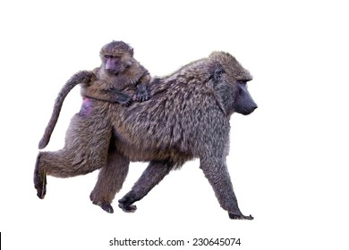 Female baboon with her baby, isolated on white background