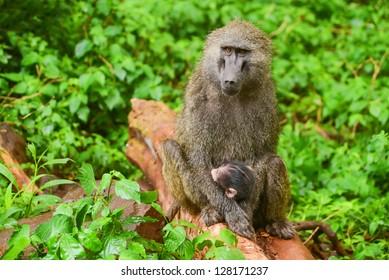 Female baboon tends her cub in Manyara national park