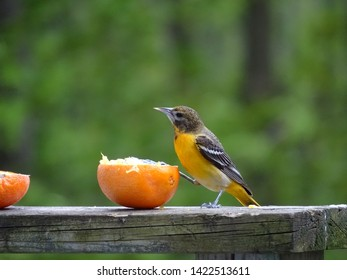 Female Baltimore oriole eating an orange on a deck railing while eyeing the camera