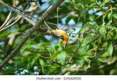 A female Baltimore oriole going through acrobatic maneuvers in order to get food at Cuyahoga Valley National Park.