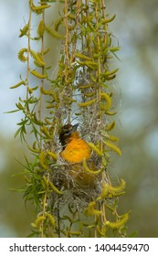 Female Baltimore Oriole inside her new nest. Ashbridges Bay Parh, Toronto, Ontario, Canada.