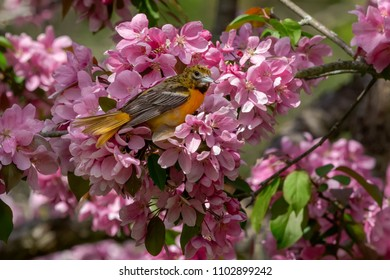 Female Baltimore Oriole perched in a blooming crabapple tree. High Park, Toronto, Ontario, Canada.
