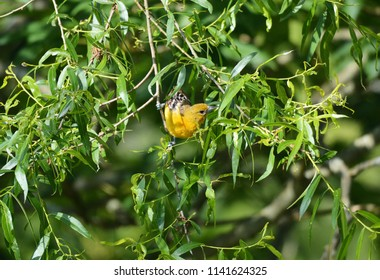 A female Baltimore oriole sitting in a tree at Cuyahoga Valley National Park, Ohio