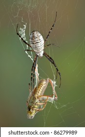 A female banded argiope spider is moving towards a grasshopper that is caught in her web.