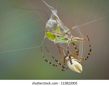 A female banded argiope spider is wrapping up a hopper caught in her web.