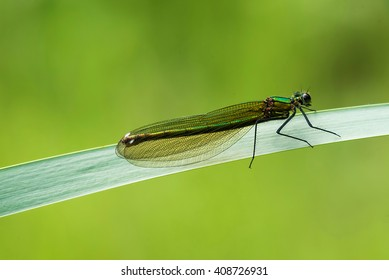 A female banded demoiselle dragonfly rests on a leaf.