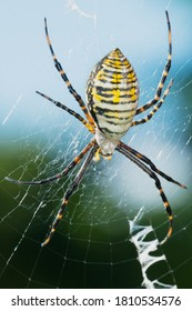A female banded Garden Spider is waiting in the center of her web. Also known as a Banded Orb Weaving Spider. Rosetta McClain Gardens, Toronto, Ontario, Canada.