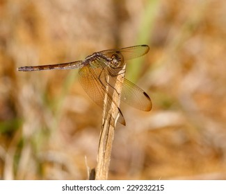 Female Band-winged Dragonlet (Erythrodiplax umbrata) perched on a reed.