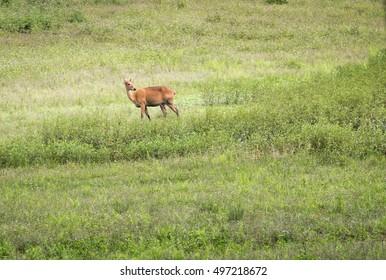 Female barasingha deer in grassland