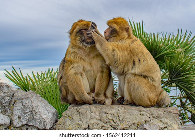 A female Barbary Ape in serious study grooming a male Gibraltar Barbary Ape's face