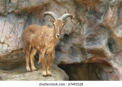 female barbary sheep