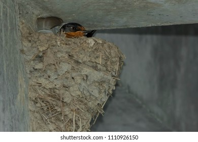 Female Barn Swallow resting comfortably in her mud nest on a concrete wall. Tommy Thompson Park, Toronto, Ontario, Canada.