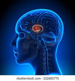 Female Basal Ganglia - Anatomy Brain