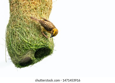 Female Baya Weaver weaving and decorating her nest