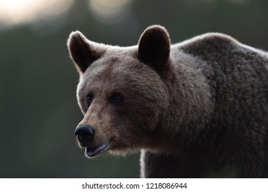 Female bear portrait. European brown bear.