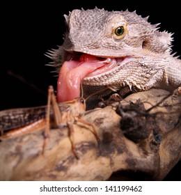 female bearded dragon catching grasshopper