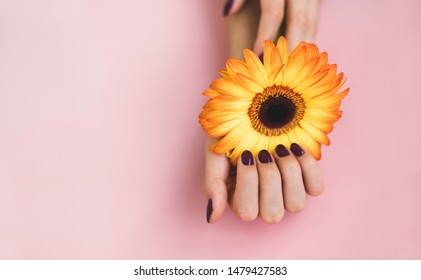 Female beautiful hands with purple manicure hold a yellow gerbera flower on pink paper background. Hand and nail care concept