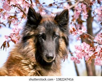 Female Belgian tervueren sitting under a cherry blossom tree