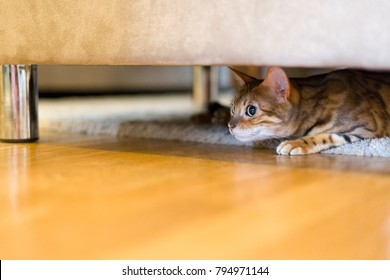 Female Bengal cat moving slowly and silently underneath sofa ready to attack