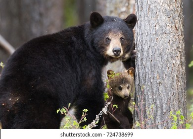 female Black Bear Ursus americanus with a brown cub along Robert Campbell Highway, near Watson lake, Yukon, Canada