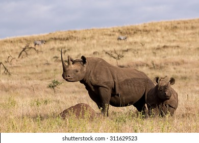 Female Black rhino mother and young Black Baby Rhino Kenya, Lewa conservancy standing and looking around in all directions