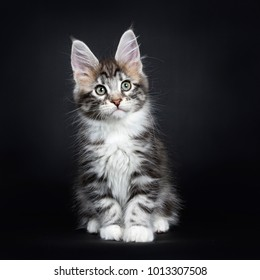 Female black silver tabby Maine Coon cat / kitten sitting straight up isolated on black background