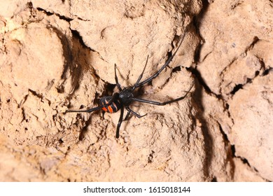 Female black widow spider (Latrodectus elegans), Theridiidae in dry habitat.