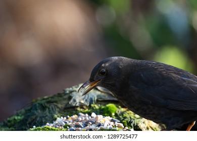 Female Blackbird close-up with it's beak open.