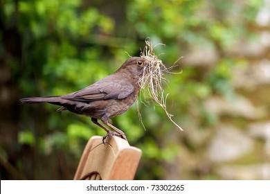 Female Blackbird gathering nest building material