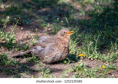 Female blackbird sitting on the ground with open beak and spreaded feathers. Eurasian or common blackbird (Turdus merula) puff out feathers to keep cool on hot day.