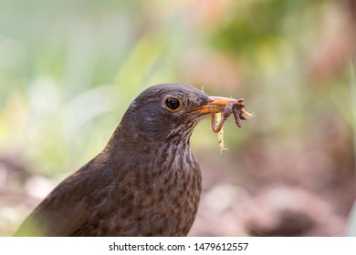 Female blackbird (Turdus merula). Garden bird with beak full of insects and worms. Close-up of foraging parent animal collecting food.