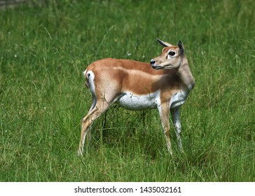 Female blackbuck (Antilope cervicapra), also known as the Indian antelope, on alert