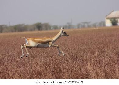 Female blackbuck jumping in grassland at blackbuck national park, velavadar, Gujarat