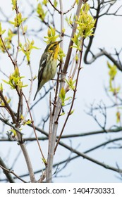 Female Blackburnian Warbler perched on a branch. Ashbridges Bay Park, Toronto, Ontario, Canada.