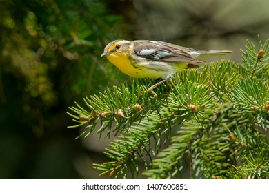 Female Blackburnian Warbler perched on an evergreen branch. Ashbridges Bay Park, Toronto, Ontario, Canada.