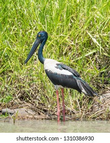 Female black-necked stork with yellow eye wading by the Corroboree Billabong's natural wetland grasses by the water's edge in the Northern Territory of Australia