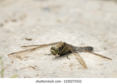 A female black-tailed skimmer (Orthetrum cancellatum) sitting on the ground
